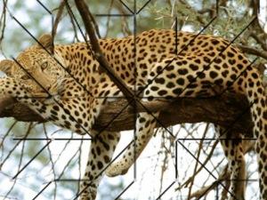 leopardos-bajo-el-sol-hugo-cano-fernandez